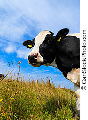 Curious dairy cow standing in field - Curious Holstein...