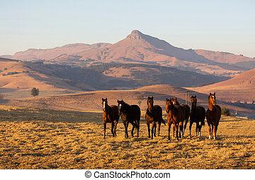 wild horse herd in the field