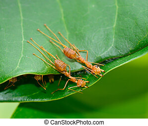 top view of red ants are buliding nest by use leaf - macro...