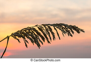 Sea Oats against rising sun in Florida - Silhouette of sea...