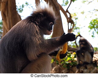 Spectacled langur (Trachypithecus obscurus) with banana -...