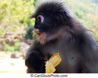 Spectacled langur Trachypithecus obscurus with banana - The...