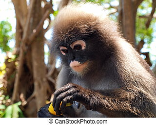 Spectacled langur (Trachypithecus obscurus) close-up - The...