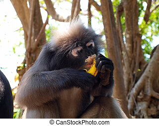Spectacled langur (Trachypithecus obscurus) eating banana -...