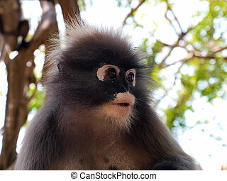 Spectacled langur Trachypithecus obscurus close-up - The...