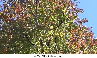 Autumn maple leaves swaying in the
