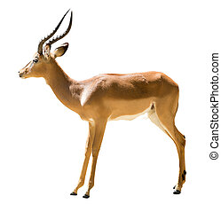 male impala Aepyceros melampus Isolated on white background...