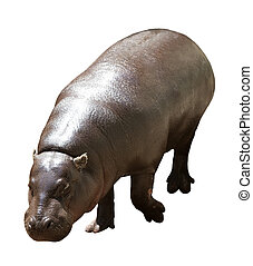 Hippopotamus - Female hippopotamus. Isolated over white...