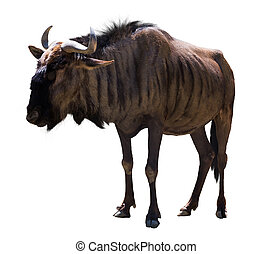 Blue wildebeest - Male blue wildebeest. Isolated over white...