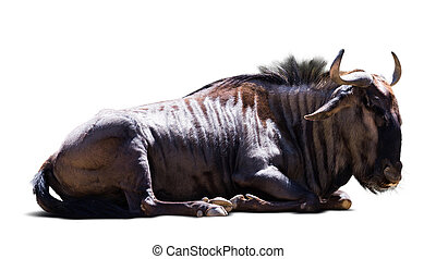 Sitting blue wildebeest (Connochaetes taurinus). Isolated on...
