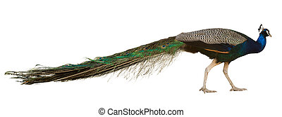 Male Indian Peafowl peahen Isolated over white background