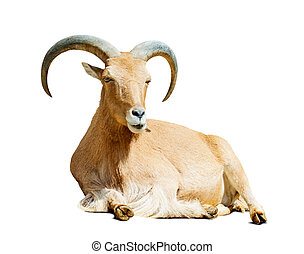 Barbary sheep over white with shade - Barbary sheep...