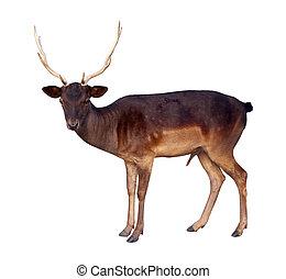 full length of deer buck - full length of buck of fallow...