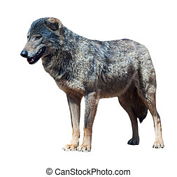 Iberian wolf canis lupus signatus Isolated over white...