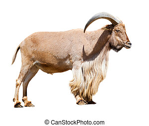 Standing barbary sheep Ammotragus lervia Isolated over white...