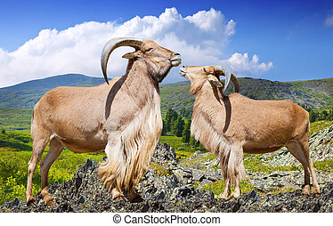 Standing couple of barbary sheeps in wildness - Standing...