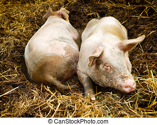 Two Pigs in Pigpen - Two pigs lying side by side in a...