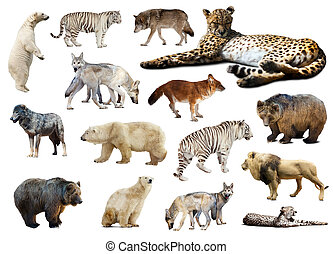 Cheetah and other predators. Isolated over white background