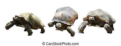 Set of African spurred tortoises - Set of African spurred...