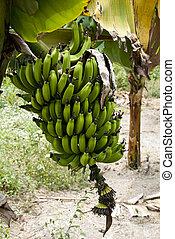 Nature's Garden - Green Bananas