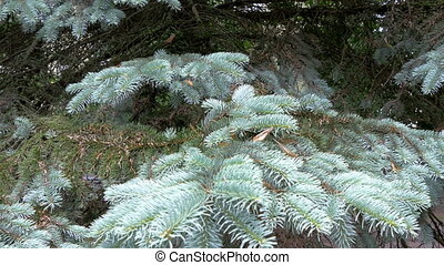Blue Spruce tree with snow on it