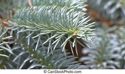 Closer look of Picea Pungens or Blue Spruce thorny green...