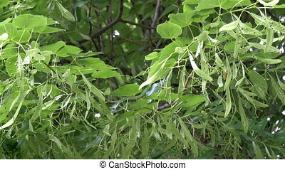 A Tilia Cordate or Small-leaved Lime tree with its green...