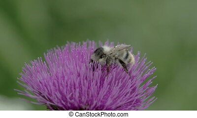 A big bee sucking on the flower of Thistle