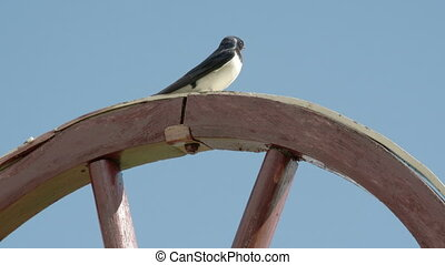 A barn swallow bird looking around on top of a wood wheel...