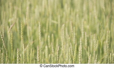 Close up look of the brown wheat grass FS700 Odyssey 7Q -...