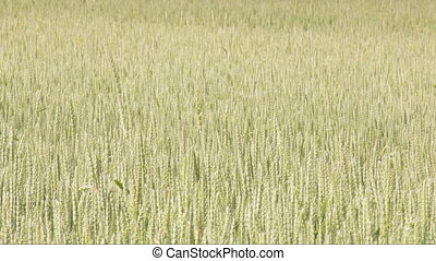 Lots of green wheat grass waving on the breeze of the wind...