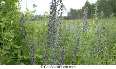 Lots of Blueweed flowers in the garden FS700 Odyssey 7Q -...