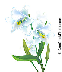lily - White lily on a white  background