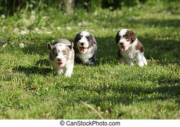 Amazing puppies of Bearded Collie running together