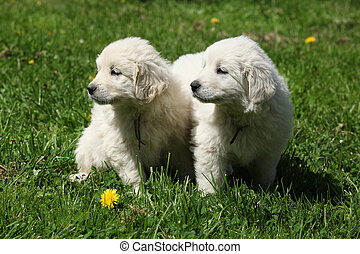 Two puppies of Slovakian chuvach sitting together
