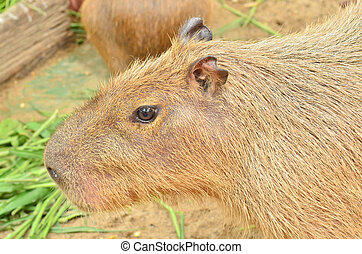 Close up of Capybara