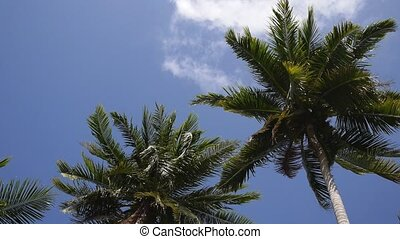 Coconut Palm Tree against Blue Sky. Slow Motion. HD,...