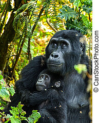 Gorillas - Gorrila mother and her baby in the bush of Uganda