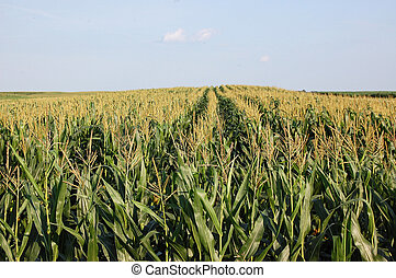 Cornfield photographed in Serbia, Vojvodina province