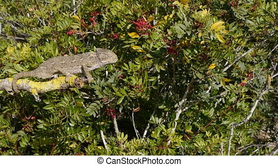 common chameleon rising throughout the body to reach the...