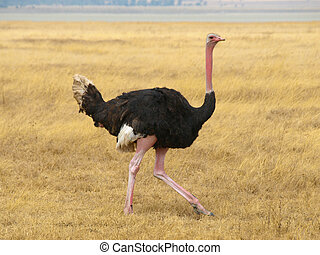 Ostrich walk in savannah of african national park