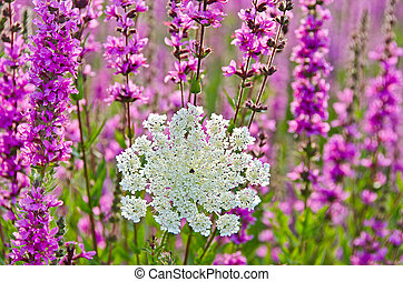 Queen Annes Lace with purple loosestrife
