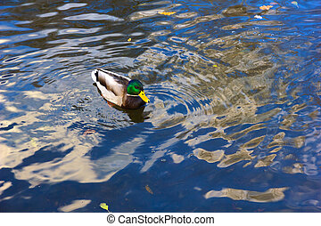 A mallard drake in blue water.