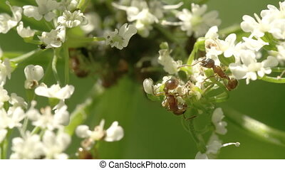 Two aphids crawling on the flowers - Two aphids crawling to...