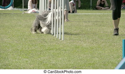 Showcasing dogs agility on the obstacles on a dog show FS700...