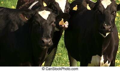 The cows in the field looking for something to eat - The...