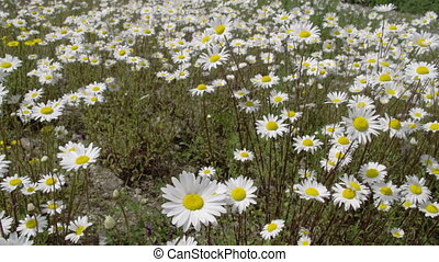 The meadows with lots of white daisies around FS700 Odyssey...