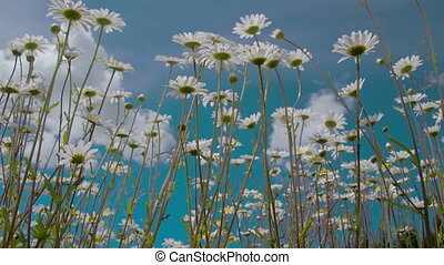 The tall stalks of the daisies in the meadows FS700 Odyssey...