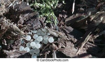 White eggs of snails