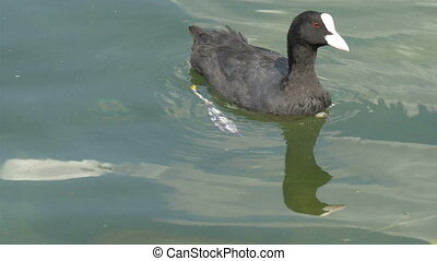 A black coot on the water looking around - A small black...